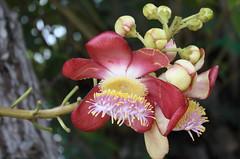 Sala tree flower