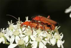 Rhagonycha fulva ♀ ♂ (Common Red Soldier Beetle)