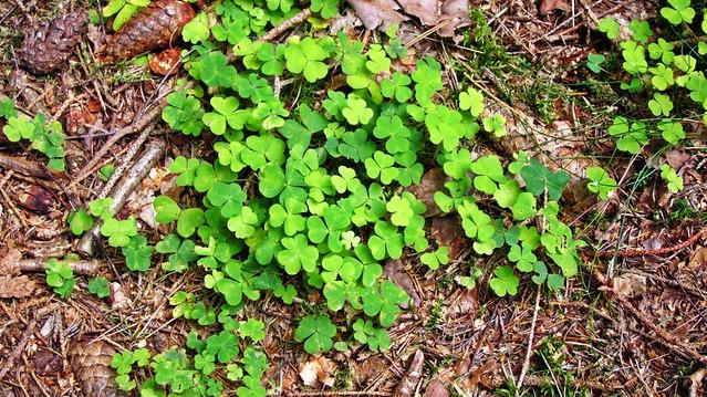 Kleeblätter Wald Rügen