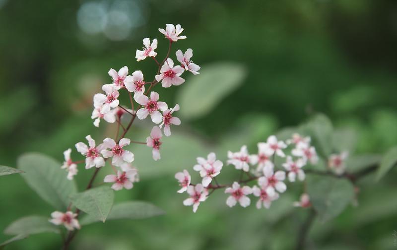 RUS55577(Spring bloom)