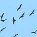 Black Kites (Wim Bovens)
