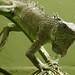 iguana común por jvcluis