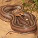 Baird's Rat Snake (Pantherophis bairdi) by Jake M. Scott