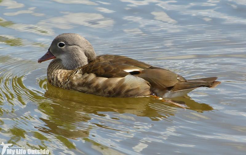 P1130825 - Mandarin Duck, Llangorse Lake