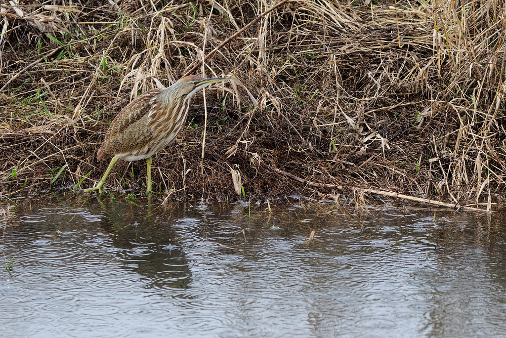 An American bittern hunts in the pouring rain