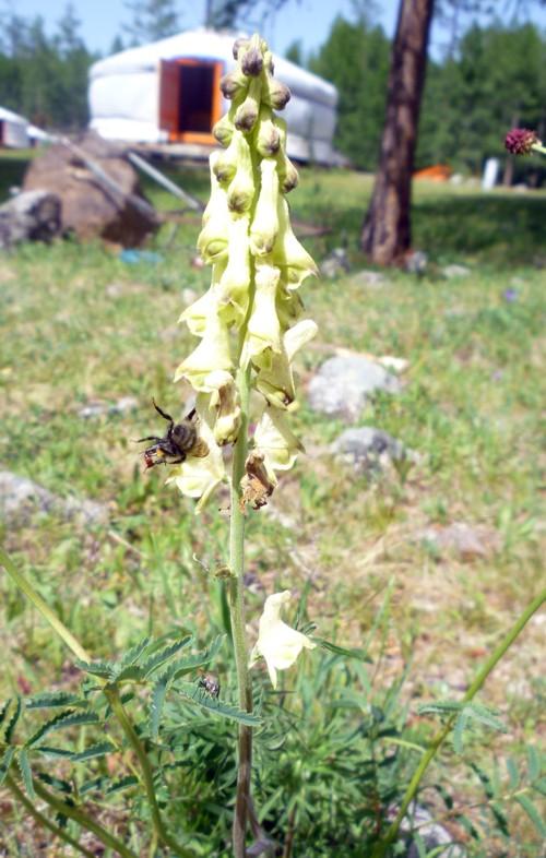 Aconitum barbatum 19988458972_9daede4ec9_o