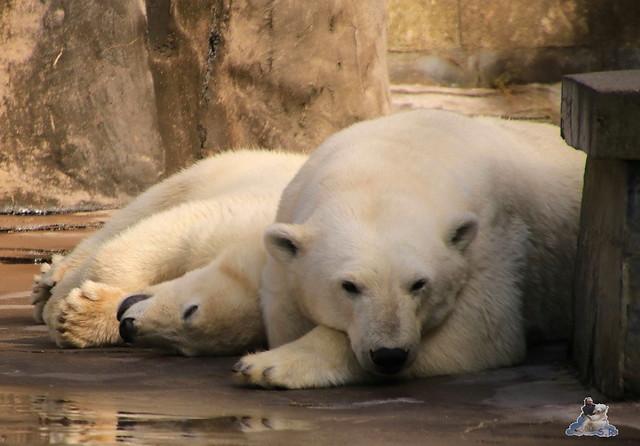 Eisbär Fiete im Zoo Rostock 0288