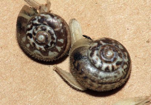 Kentish Snail 1155