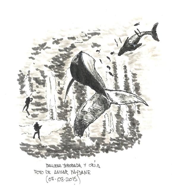 Ballenas jorobadas (Megaptera novaeangliae)