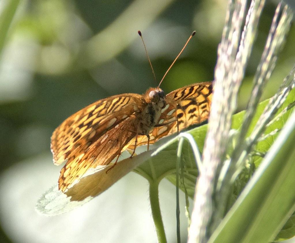 Spangled Fritillary