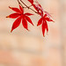 Red Maple 0055 by 3Bs7Gs