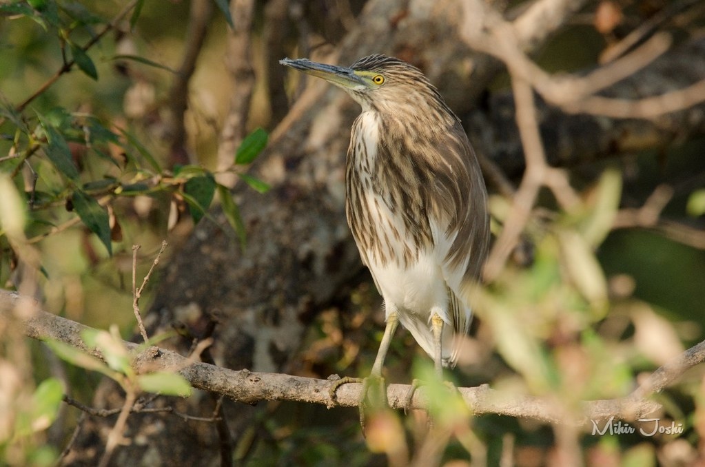 Indian Pond-heron [Garcilla India]