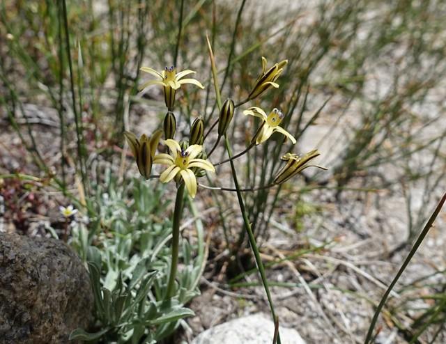 Star flower (tritelia?) m827