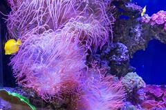 aquarium lighting(0.0), coral reef(1.0), coral(1.0), purple(1.0), coral reef fish(1.0), organism(1.0), marine biology(1.0), invertebrate(1.0), cnidaria(1.0), reef(1.0), pomacentridae(1.0), sea anemone(1.0),