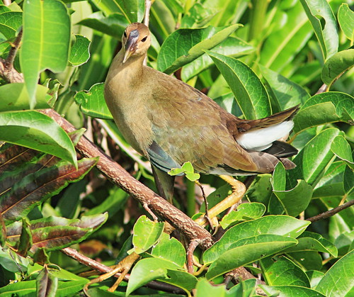 Purple Gallinule immature 2-20150722