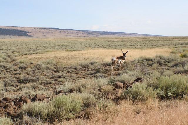 Antelope in E. Oregon