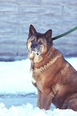 2015_04_Life-of-Pix-free-stock-photos-dog-snow-leash-sad-leeroy