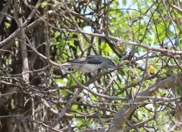 Black Heade Cuckoo Shrike