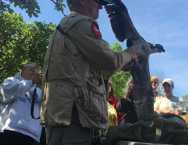 Banding an osprey chick