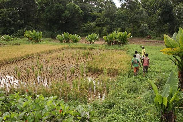 Reisanbau auf Madagaskar