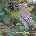 DSC0792  Waxwing.. by jefflack Wildlife&Nature