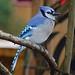 Blue Jay_1190_01 by Henryr10