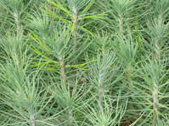 evergreen(0.0), flower(0.0), grass(0.0), tree(0.0), rosemary(0.0), chrysopogon zizanioides(0.0), southernwood(1.0), plant(1.0), herb(1.0), flora(1.0),