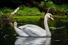 Swann Swimming