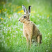 Brown Hare by carbonbianchi