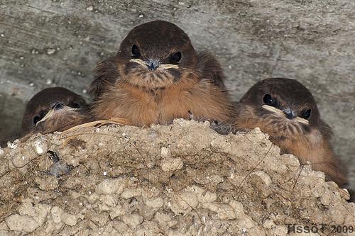Andorinha-das-rochas (Ptyonoprogne rupestris) - Juv.