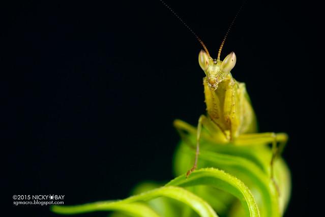 Mantis (Creobroter sp.) - DSC_4483