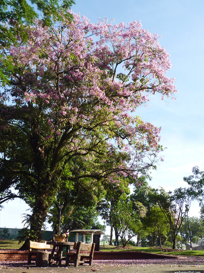 Flowering Trumpet Trees at Sembawang Park
