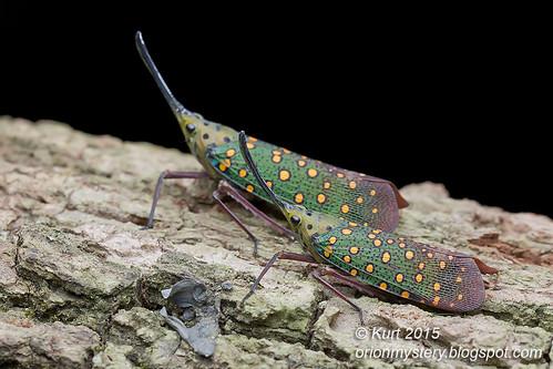lanternfly Saiva gemmata_MG_0564 copy