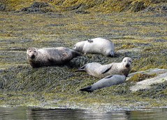 Harbour Seal - Phoca vitulina