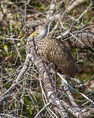 perching Limpkin