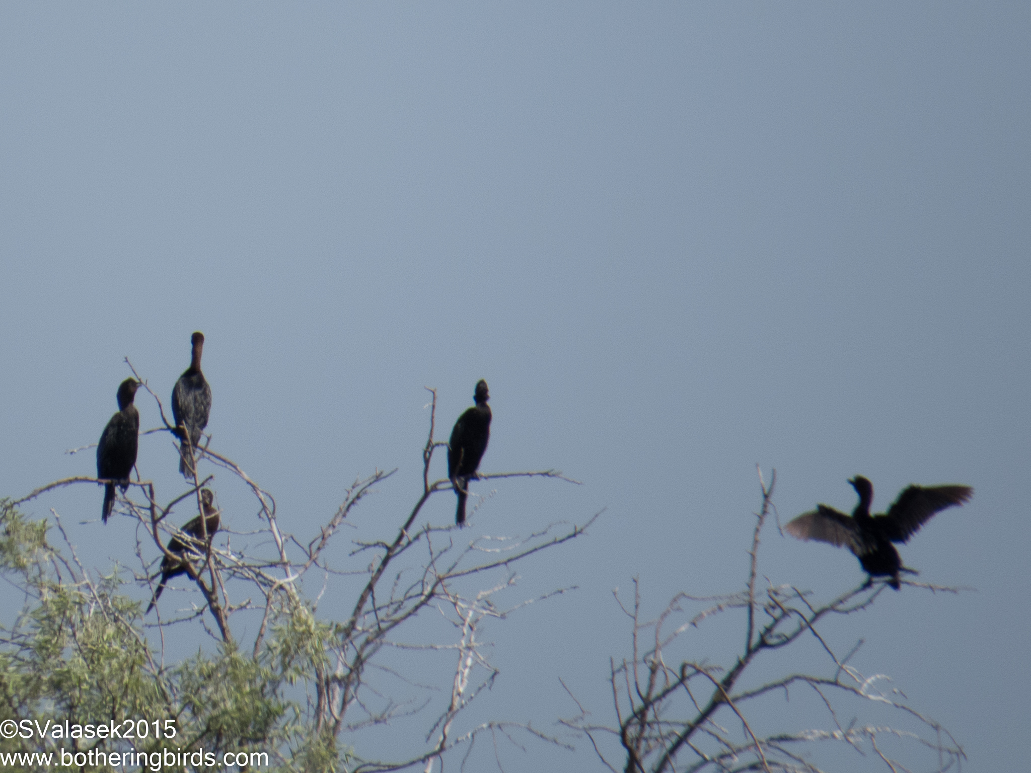 Pygmy Cormorants