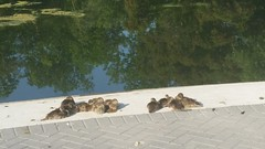 Ducklings enjoying the sun