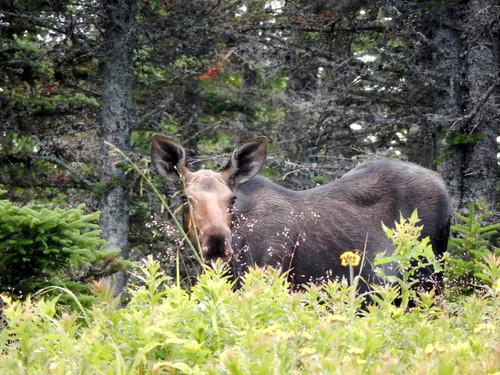 Cape Breton Highlands NP - jonge moose - 1