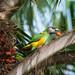Senegalese Parrot (Dave Montrevil)