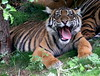 Tigress Gone Berserk