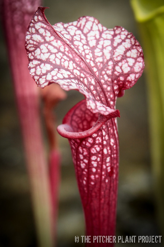 "Sarracenia willisii x alata ""red/black"""