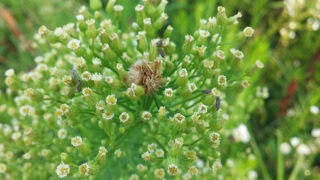 공릉천 관찰일기 | 곤충들의 새로운 보금자리로 등장한 키다리 망초꽃봉우리