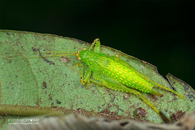 Katydid (Tettigoniidae) - DSC_4789