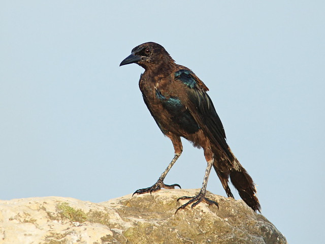 Boat-tailed Grackle molting 2-20150731