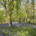 Bluebells in English woodland by Keartona
