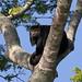 Black Howler Monkey (Jon Isaac)