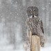 Chouette lapone / Great Grey Owl [Strix nebulosa] by Curculion