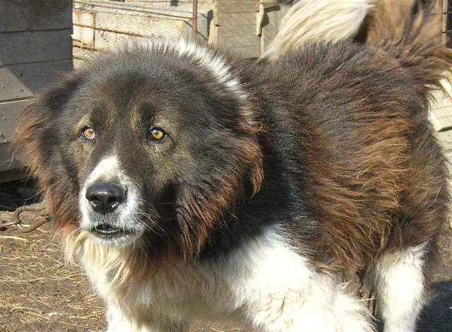 Bulgarian Shepherd Dog | Center of Experimental Cynology 7 ...