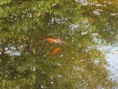 amphibian(0.0), newt(0.0), fauna(0.0), salamandridae(0.0), fish(1.0), fish pond(1.0), koi(1.0), pond(1.0),