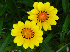 Two Yellow Flowers+